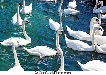 Flock of swans on a lake.