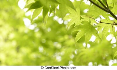 Green maple leaves(Acer palmatum var. amoenum) in front of...