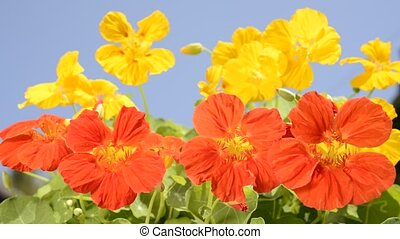 Nasturtium flowers - Bright orange and yellow nasturtium...
