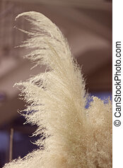 pampas grass in nature, note shallow depth of field