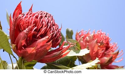 Red waratah flower - Vivid red waratah flower under blue sky