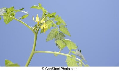 Tomato flower - Bright yellow tomato flower under blue sky