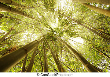 Bamboo trees sunrays concept image meditation enlightenment...