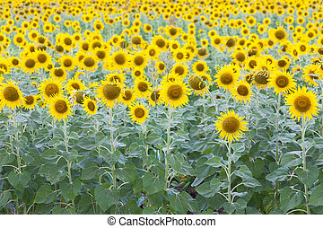 Sunflower field full bloom, natural landscape background