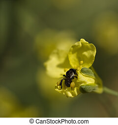 spring very tiny australian native stingless bee collects pollen from brassica flowers