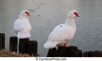 duck on lake in winter season