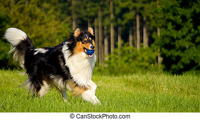 Dog playing - A cute dog playing with a ball
