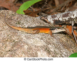Rainbow skink - Australia - Closed-litter rainbow skink...