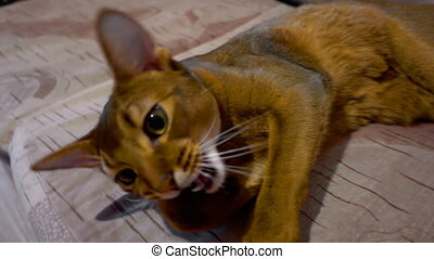 Abyssinian cat washes lying on beige sofa