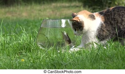 Curious cute cat try to catch crucian fish through aquarium...