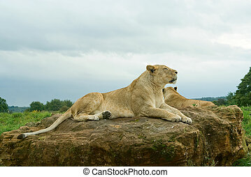 Lioness resting - Lioness (P. Leo) resting on the rock
