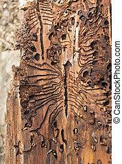 The European spruce bark beetle. Traces of a pest on a tree...