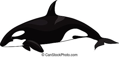 orca - The  black-and-white orca on a white background.