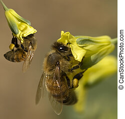 busy spring honey bees collecting pollen from yellow...