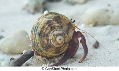 Hermit crab crawling on the beach