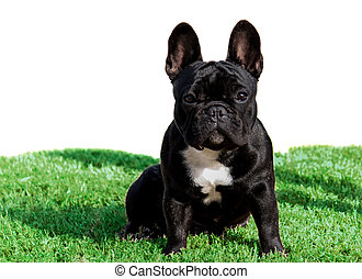 Black French Bulldog purebred pet dog