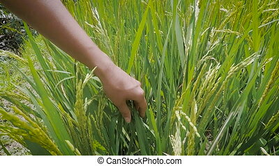 Island of Bali. An excursion on the island. The girl at an excursion on rice fields. The woman touches plants. To Bali fine weather and it allows tourists to hold the travel interestingly