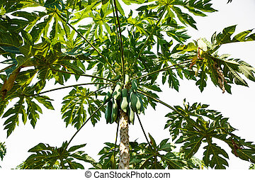 papayas hanging from the tree.