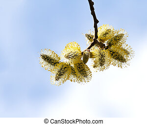 spring pussy willow branch on sky background