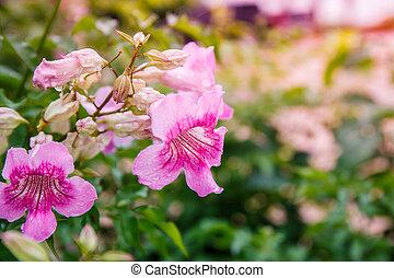 Pandorea Ricasoliana flower in garden
