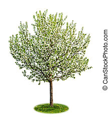 Isolated flowering apple tree - Single young flowering apple...
