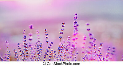 Lavender bushes closeup on sunset. Sunset gleam over purple...