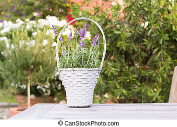 Wicker basket with lavender. - Wicker basket with lavender...
