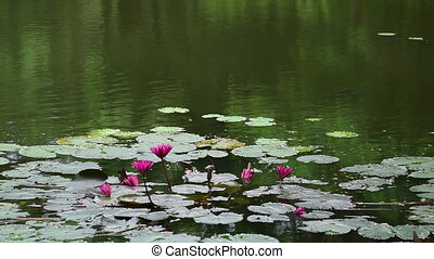 Water Lily flowers floating on water, nature background -...