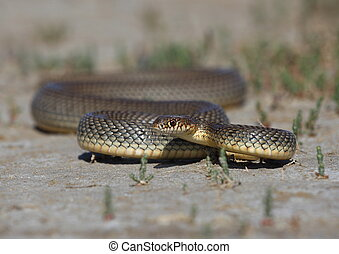 Caspian whipsnake  in the Kalmyk steppe
