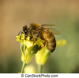 busy worker bee collects pollen from yellow spring broccoli flower in organic garden