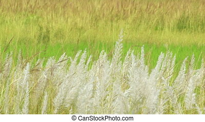Kans grass (Saccharum spontaneum), at Kolkata, West Bengal,...