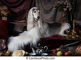 White Afghan hound dog lying on the carpet in the Arab style...