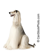 Thoroughbred Afghan hound - Afghan hound dog (eight years...