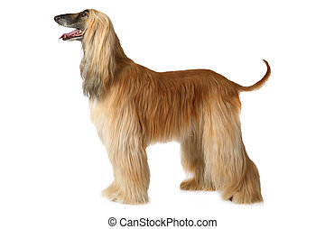 Afghan hound dog - Thoroughbred Afghan hound dog standing in...
