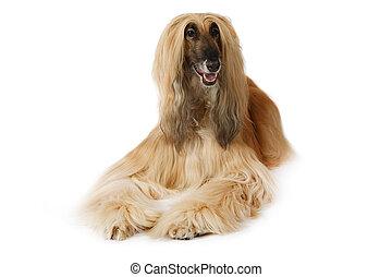 Afghan hound dog over white - Thoroughbred dog Afghan hound...