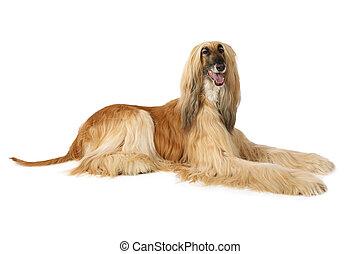 Afghan hound isolated on white - Thoroughbred dog Afghan...