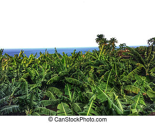 banana plantation on Tenerife