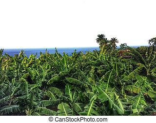 banana plantation on Tenerife
