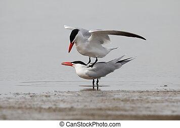 Caspian tern on the lake