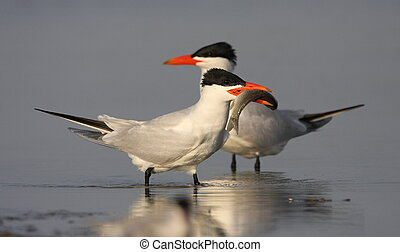 Caspian tern on the lake
