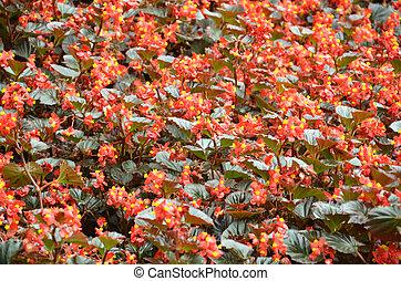 bégonia, beauté, extraordinaire, fleur,  bégonia, fleurs
