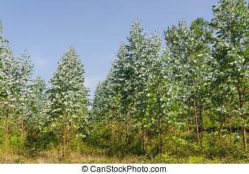 plantación, eucalipto,  Galicia, españa
