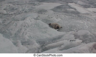 White newborn seal on ice of Lake Baikal in Russia. Zoom in.