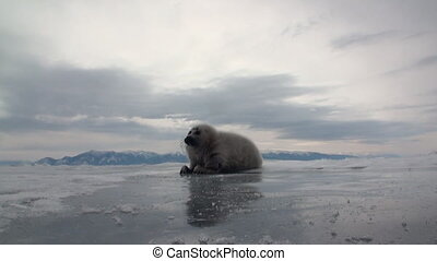 White newborn seal on the ice of Lake Baikal in Russia is...