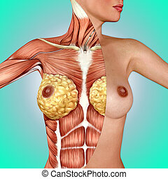 3d anatomy of the female breast