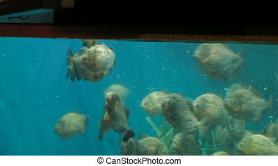 Piranha fish Pygocentrus nattereri floating in special...