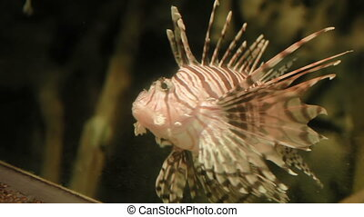 Lionfish (Pterois volitans). Dangerous beautiful fish...