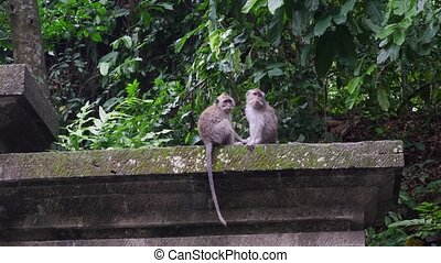 Two cute monkeys in the forest tropical Indonesia. Wild...