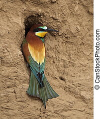 European bee-eater in the Kalmyk steppe