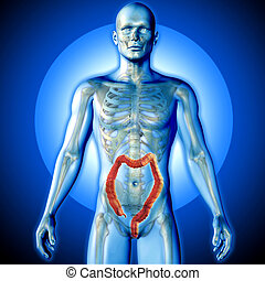 3D render of a medical image of a male figure with colon highlighted
